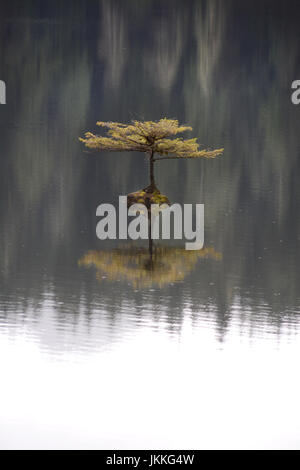 A tiny fir bonsai tree growing on a rock in the middle of a lake during rainfall, near Port Renfrew on Vancouver - Stock Photo