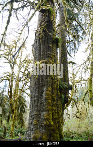 The San Juan Spruce, a giant, old growth Sitka spruce tree in the rainforest near Port Renfrew, British Columbia, - Stock Photo