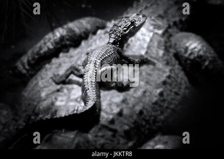 A baby alligator catches a ride with it's mother in the Florida Everglades. Mother alligators will guard their young - Stock Photo