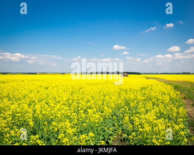 The brilliant yellow flowers of a canola field near Beaumont, Alberta, Canada.