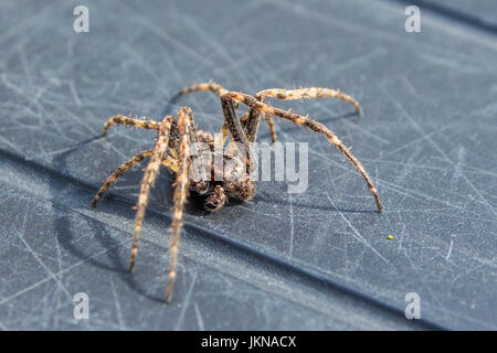 common house spider becoming active - Stock Photo
