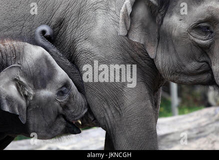 Baby elephant suckling milk from its mother - Stock Photo