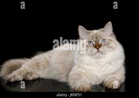 Neva Masquerade Cat on Black - Stock Photo