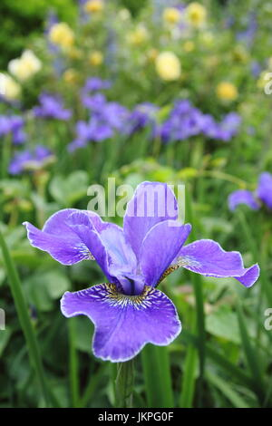 Iris Sibirica 'Silver Edge'  Siberian Iris, or Siberian Flag in full bloom, English garden border - June - Stock Photo
