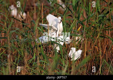 The little egret nesting in colony.Lonjsko polje, Croatia - Stock Photo