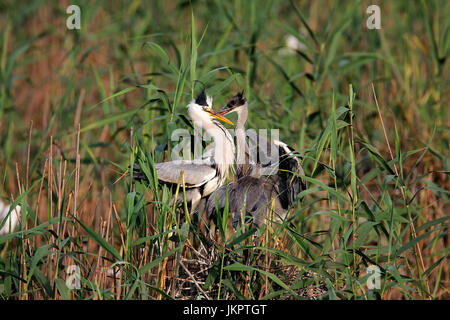 The grey heron nesting in bird colony in Lonjsko polje, Croatia - Stock Photo