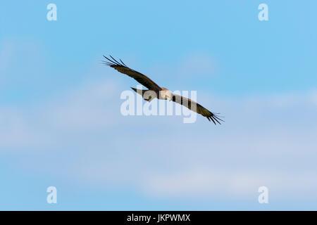 The western marsh harrier (Circus aeruginosus) from Lonjsko polje, Croatia - Stock Photo