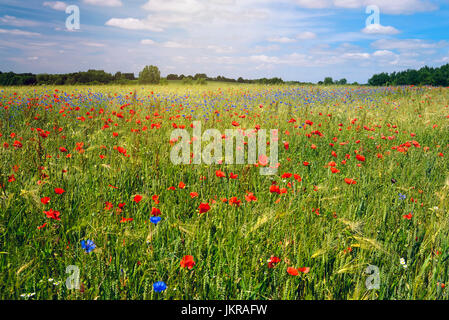 Wheat field with poppies and cornflowers in lagoon jug, Schleswig - Holstein, Germany, Europe, Weizenfeld mit Mohn - Stock Photo