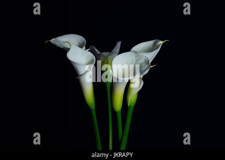Close-up of white Calla Lily flowers against black background - Stock Photo