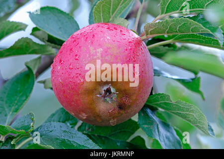 Apple on tree, Lower Saxony, Germany / (Malus domestica) | Apfel am Baum, Altes Land, Niedersachsen, Deutschland - Stock Photo