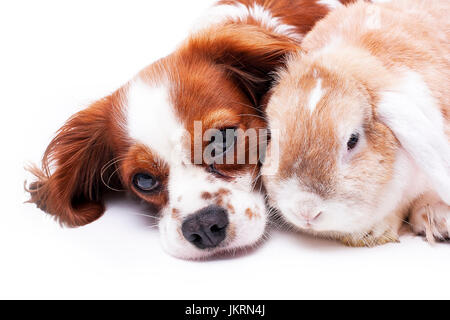 Animal friends. Pet enemies or real friendship can be true? Dog and lop bunny rabbit together. Cavalier king charles - Stock Photo