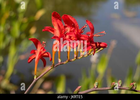Crocosmia lucifer growing beside a garden pond - Stock Photo