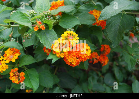 Common Lantana (Lantana camara) orange flowers blossom. - Stock Photo