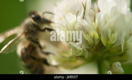 bee at work on white clover flower collecting pollen A four leaves clover - Stock Photo