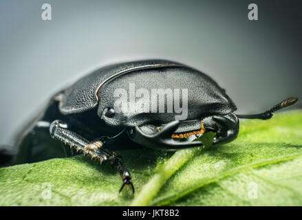 Young stag beetle (Lucanus cervus) on green leaf - Stock Photo