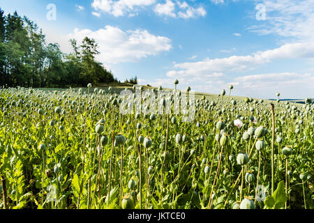 The part of big field with growing green poppies. Some poppies in foreground are focused. In the smooth blurry background - Stock Photo