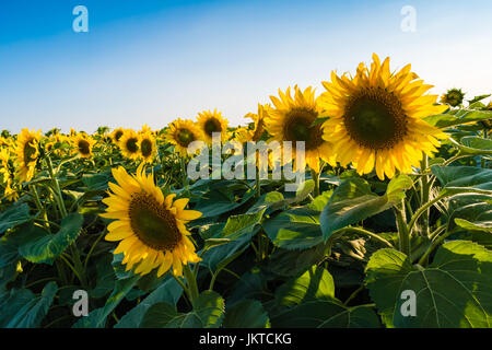 Beautifull yellow sunflowers on big field.  Clear blue sky on background. - Stock Photo