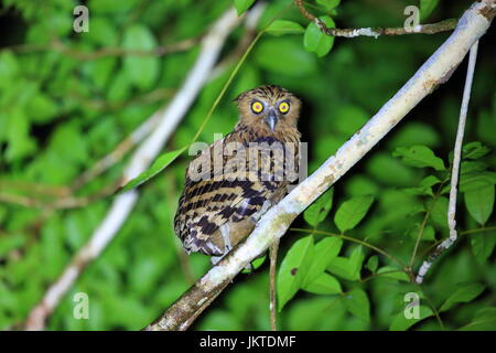 Buffy Fish Owl (Ketupa ketupu) in Danum Valley, Sabah, Borneo, Malaysia - Stock Photo