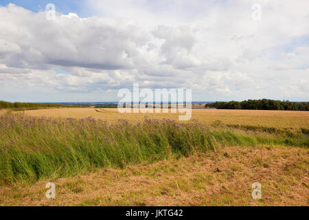 cut grass with thistle flowers beside a ripe wheat field overlooking the vale of york under a blue summer sky in - Stock Photo