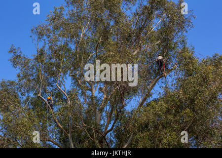 tree trimmer, tree branch trimmer, trimming tree branch, blue-gum eucalyptus tree, tree care, lumberman, city of - Stock Photo