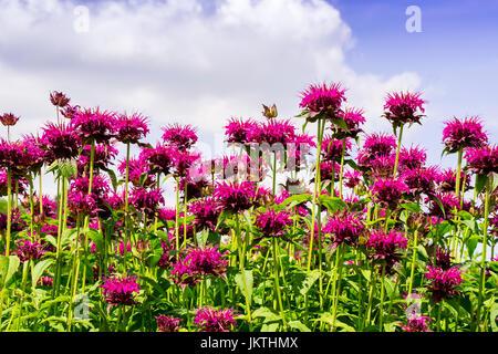 Pink Monarda flowers common names Bee Balm and Bergamot. - Stock Photo