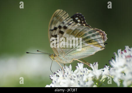 Silver-washed fritillary butterfly (Argynnis paphia), female valesina (valezina) form, nectaring on an umbellifer - Stock Photo