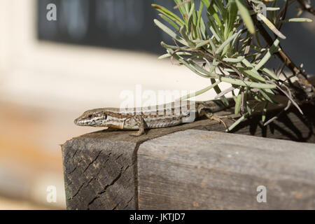 Common wall lizard (Podarcis muralis) on a plant pot in France, Europe - Stock Photo