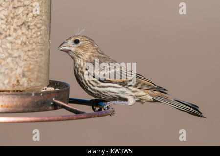 Female House Finch (Haemorhous mexicanus) eating from a backyard bird feeder. - Stock Photo