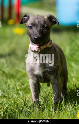 Whippet Puppy with Pink Collar - Stock Photo