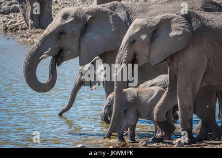 Herd of elephants at waterhole, Etosha National Park, Namibia, Africa - Stock Photo