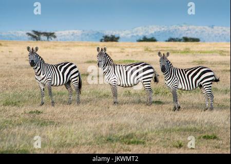 Zebra, Equus burchellii, on Serengeti Plains in Tanzania. - Stock Photo