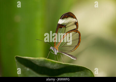 A glasswinged butterfly rests on a leaf - Stock Photo