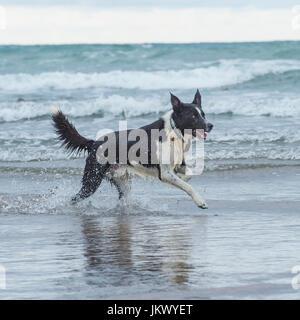 border collie in sea - Stock Photo
