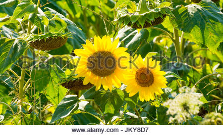 yellow sun flowers on fields composition - Stock Photo