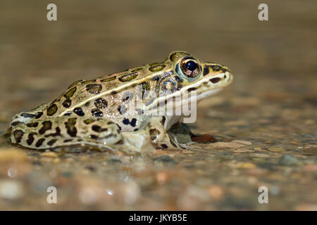 Northern leopard frog (Lithobates pipiens) in water stream, Ledges State Park, Iowa, USA. - Stock Photo