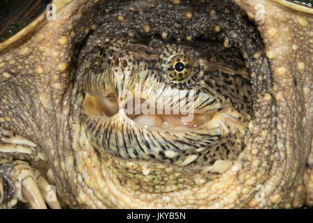 Common snapping turtle (Chelydra serpentina) portrait, Ledges State Park, Iowa, USA - Stock Photo