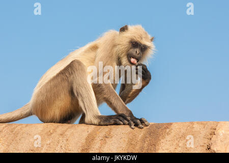 Gray langurs or Hanuman langurs, the most widespread langurs of the Indian Subcontinent, are a group of Old World - Stock Photo