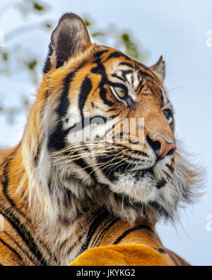 Front sitting down view of a Royal Bengal Tiger (panthera tigris)