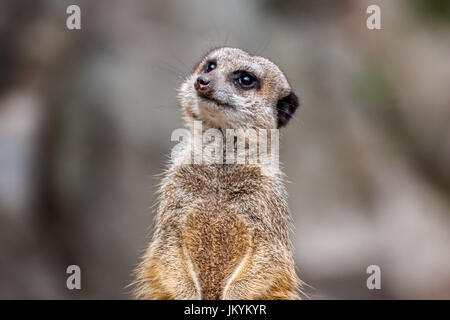 The meerkat or suricate is a small carnivoran belonging to the mongoose family. It is the only member of the genus - Stock Photo