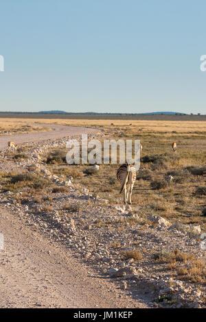Zebras Grazing next to Road in Etosha National Park, Namibia