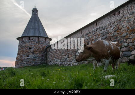 Arkhangelsk Region, Russia. 11th July, 2017. A cow seen by a tower of the Solovetsky Monastery on the Solovetsky - Stock Photo