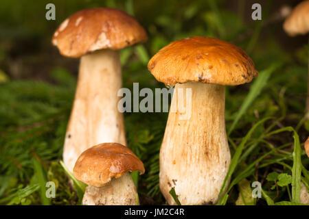 Boletus Edulis. Close Up Edible Mushrooms Boletus Edulis In Forest. Selective Focus. Beatiful Forest Mushroom. - Stock Photo