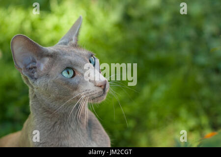 Oriental Shorthair Gray Cat Outdoors Summer. Oriental Breed. Copy Space. - Stock Photo