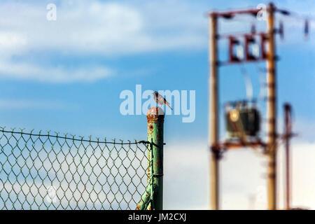 Male Black redstart, Phoenicurus ochruros sitting on a fence - Stock Photo