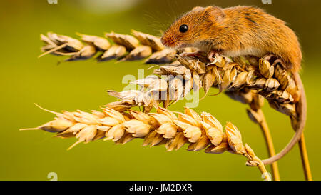 Harvest Mouse On Golden Wheat - Stock Photo