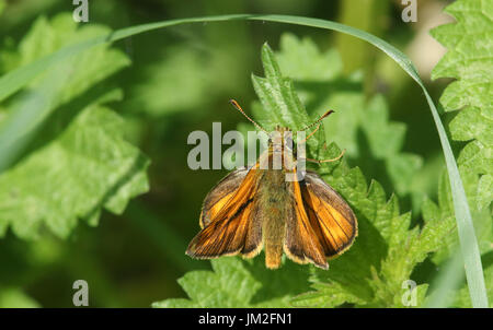 A beautiful Large Skipper Butterfly (Ochlodes sylvanus) perched on a stinging nettle. - Stock Photo