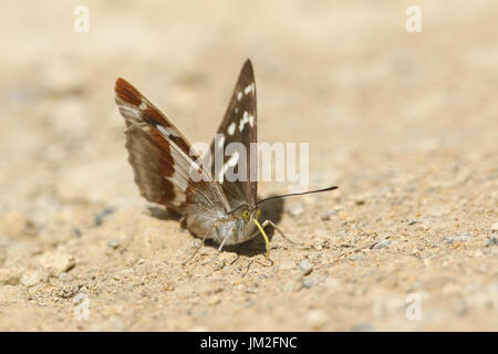 A rare female Purple Emperor Butterfly (Apatura iris) feeding on minerals on the ground. - Stock Photo