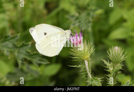 A Small White Butterfly (Pieris rapae) nectaring on a thistle flower. - Stock Photo