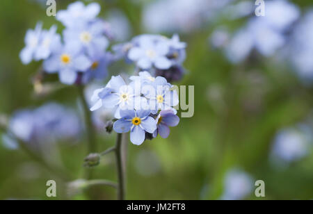 A beautiful Forget-me-not (Myosotis sylvatica) plant in flower. - Stock Photo