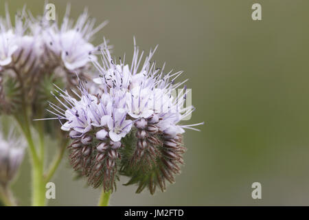 A beautiful Phacelia (Phacelia tanacetifolia) flower, it is a species of phacelia known by the common names lacy - Stock Photo